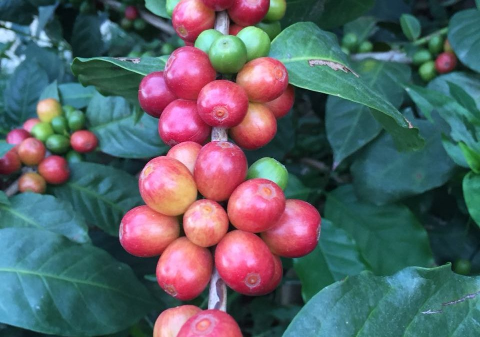 A Special Kind Of Coffee: Jamaican Blue Mountain